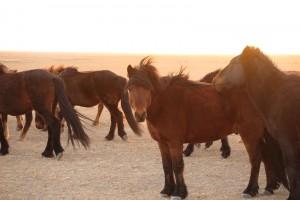 Caballos Mongolia